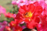 Photos du 53e Royal Concours International de Roses Nouvelles du Roeulx