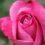 Photos du 55e Concours de Roses Nouvelles du Roeulx