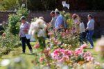 Reportages photos et vidéos du 56e Royal Concours International de Roses Nouvelles du Roeulx